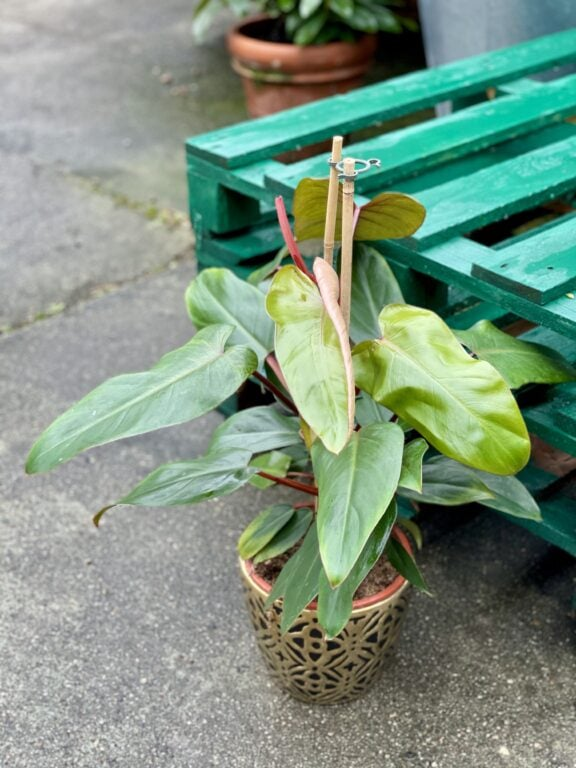Zdjęcie rośliny Philodendron Twin Wings, ujęcie 1