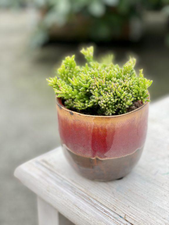 Zdjęcie rośliny Rhipsalis mesembryanthemoides (Patyczak), ujęcie 1