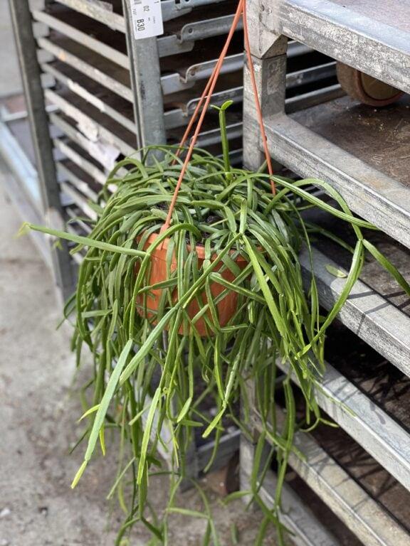 Zdjęcie rośliny Rhipsalis trigona, ujęcie 1