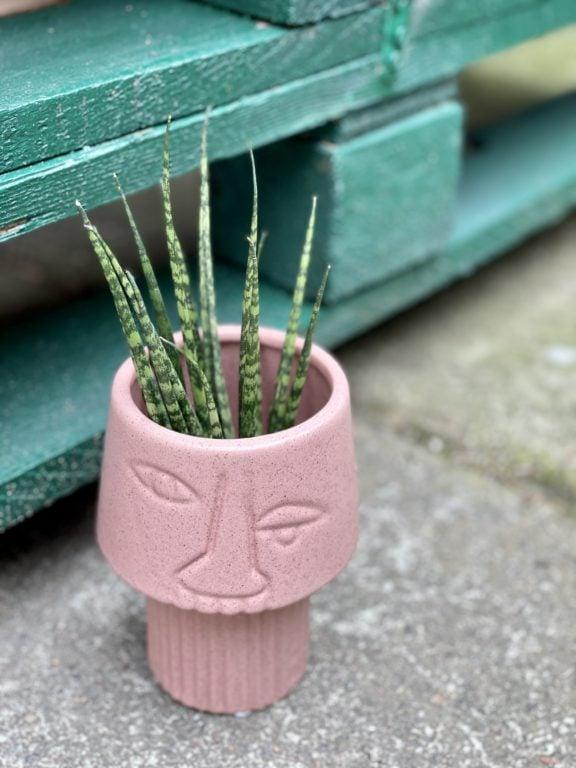 Zdjęcie rośliny Sansevieria Fernwood Mikado, ujęcie 1