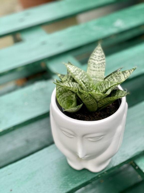Zdjęcie rośliny Sansevieria Green Marble, ujęcie 1