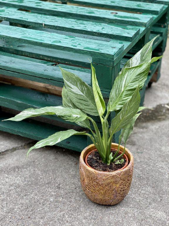 Zdjęcie rośliny Spathiphyllum Diamond (Skrzydłokwiat), ujęcie 1