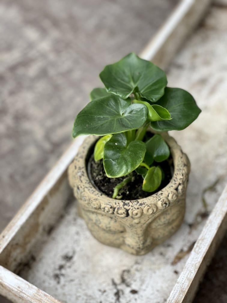 Zdjęcie rośliny Thaumatophyllum Selloum Atom, ujęcie 1