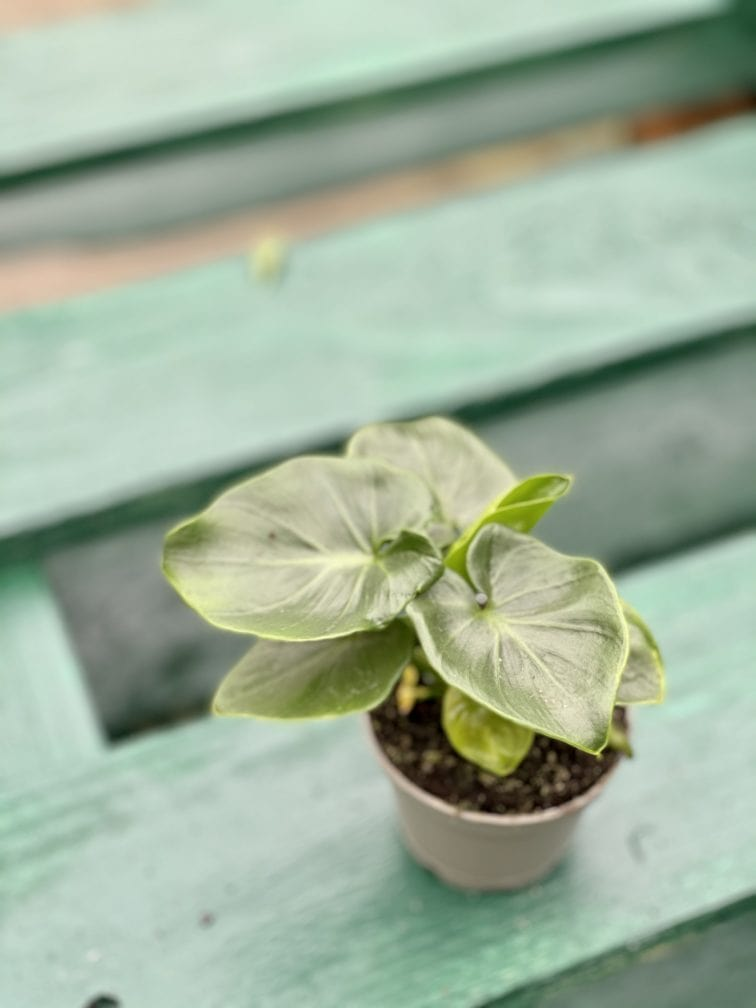 Zdjęcie rośliny Thaumatophyllum Selloum Atom, ujęcie 2