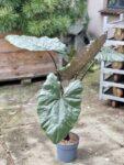 Zdjęcie rośliny Alocasia plumbea metallica, ujęcie 1
