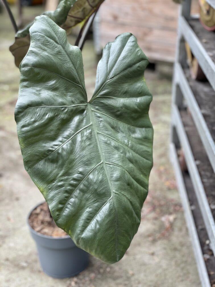 Zdjęcie rośliny Alocasia plumbea metallica, ujęcie 2