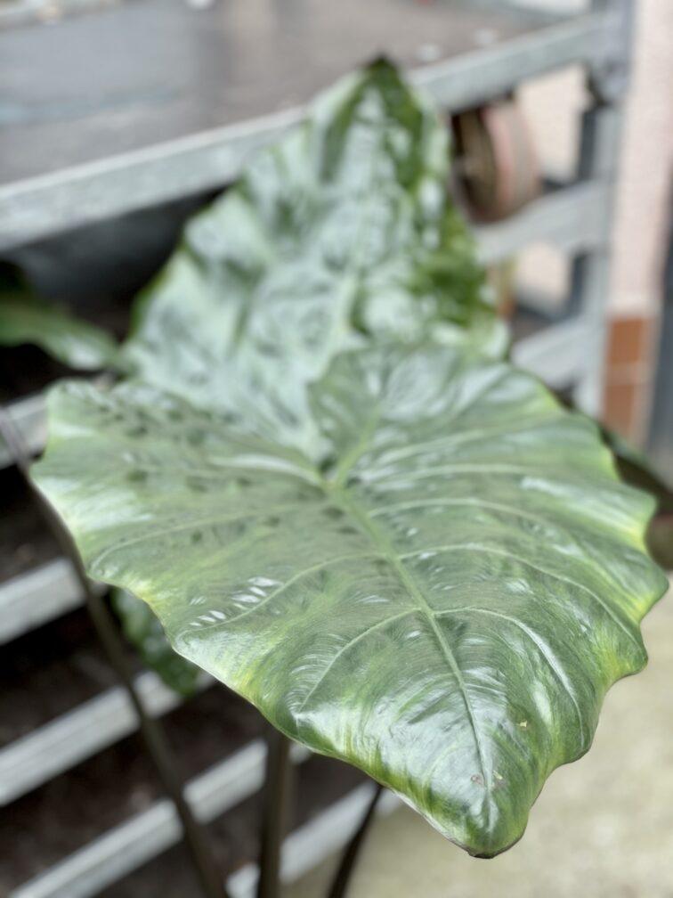 Zdjęcie rośliny Alocasia plumbea metallica, ujęcie 3