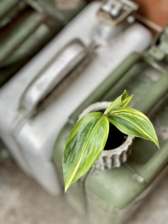 Zdjęcie rośliny Alpinia zerumbet variegata, ujęcie 1