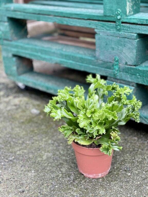 Zdjęcie rośliny Asplenium nidus Crissie (Zanokcica), ujęcie 1