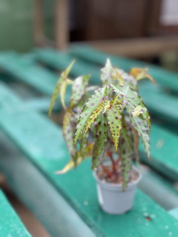 Zdjęcie rośliny Begonia Amphioxus, ujęcie 1