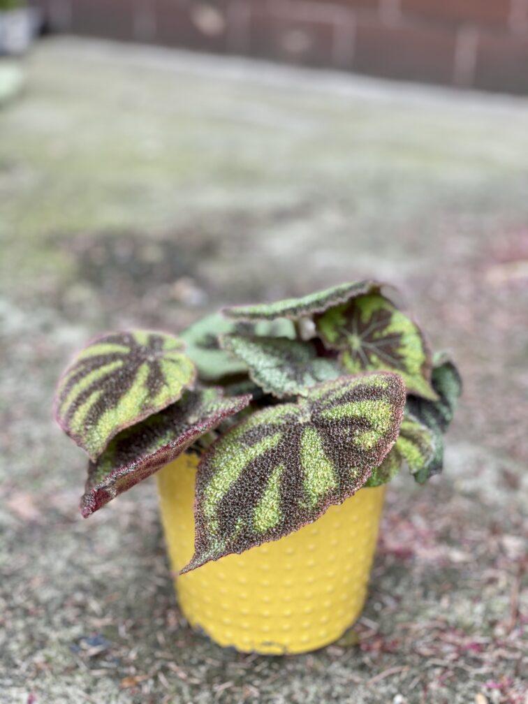"""Zdjęcie rośliny Begonia masoniana """"Mountain Explore"""", ujęcie 1"""