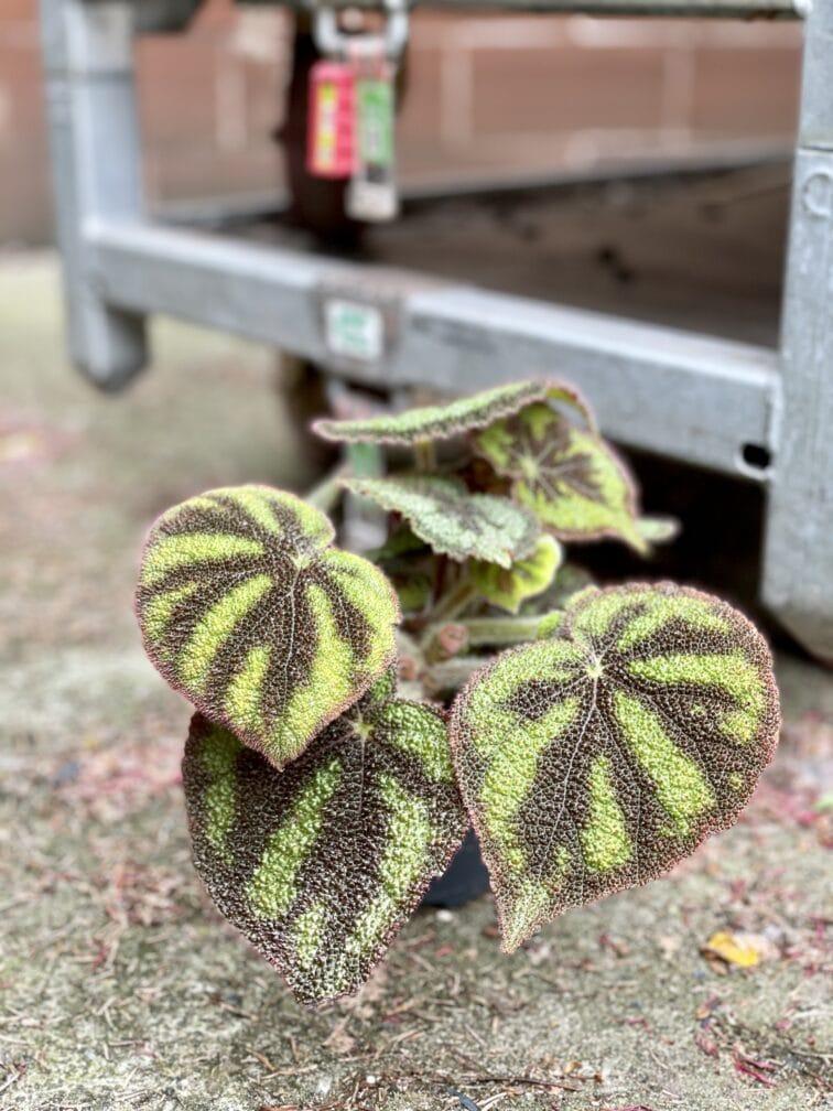 """Zdjęcie rośliny Begonia masoniana """"Mountain Explore"""", ujęcie 2"""