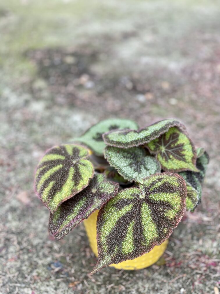 """Zdjęcie rośliny Begonia masoniana """"Mountain Explore"""", ujęcie 3"""