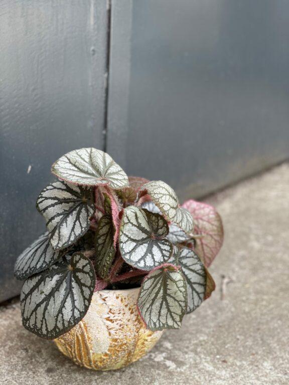 Zdjęcie rośliny Begonia rex King, ujęcie 1