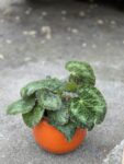 Zdjęcie rośliny Begonia rex Sizemoreae, ujęcie 1