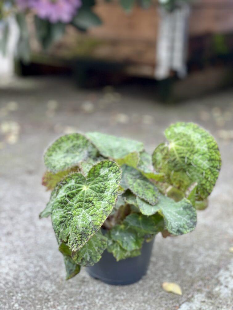 Zdjęcie rośliny Begonia rex Sizemoreae, ujęcie 2