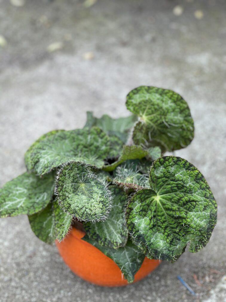 Zdjęcie rośliny Begonia rex Sizemoreae, ujęcie 3