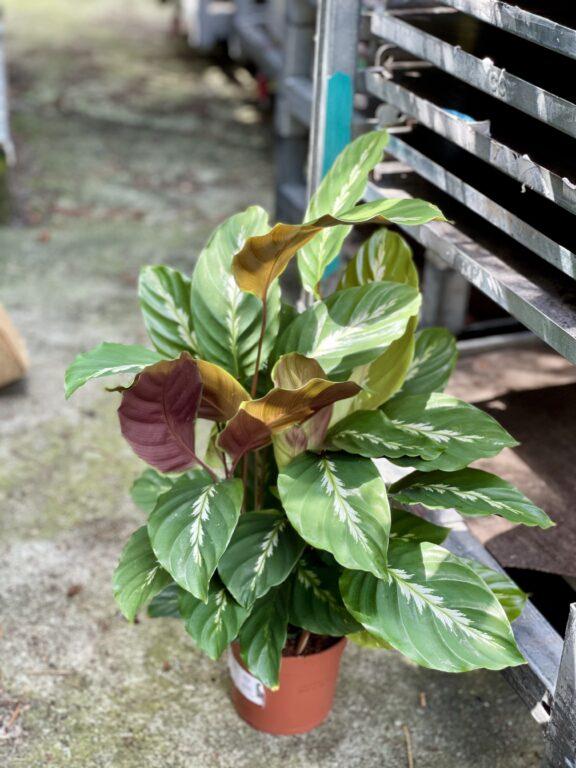 Zdjęcie rośliny Calathea Maui Queen, ujęcie 1