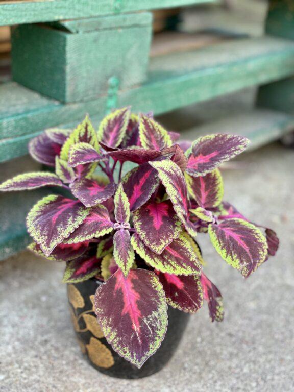 Zdjęcie rośliny Coleus Ruby Road, ujęcie 1