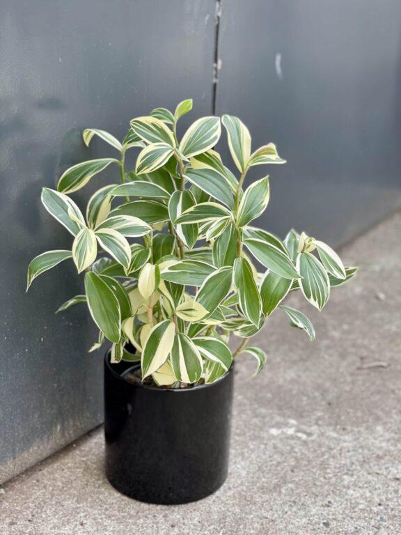 Zdjęcie rośliny Costus Arabicus Variegatus, ujęcie 1