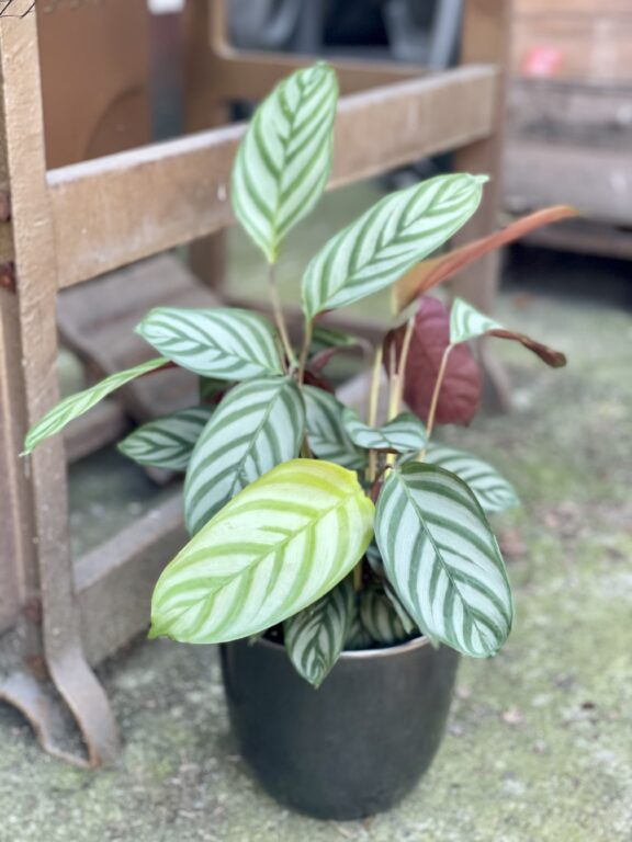 Zdjęcie rośliny Ctenanthe Compactstar, ujęcie 1