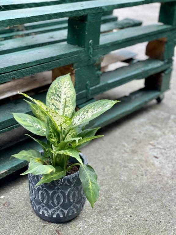 Zdjęcie rośliny Dieffenbachia Compacta, ujęcie 1