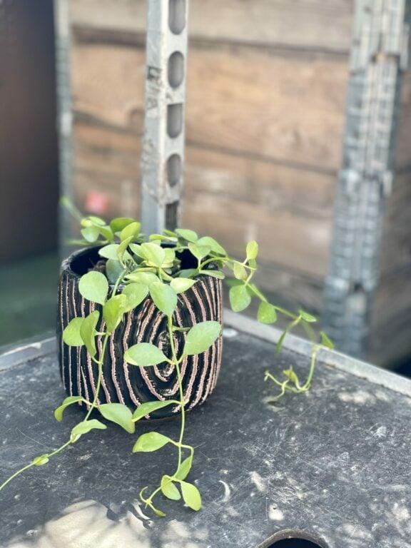 Zdjęcie rośliny Dischidia Geri, ujęcie 1