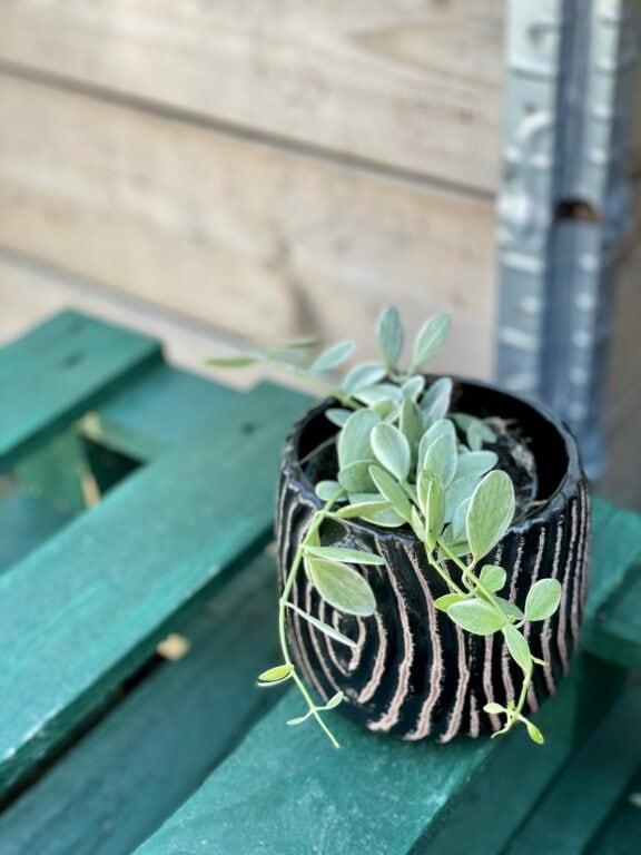 Zdjęcie rośliny Dischidia onanthe White Diamond, ujęcie 1