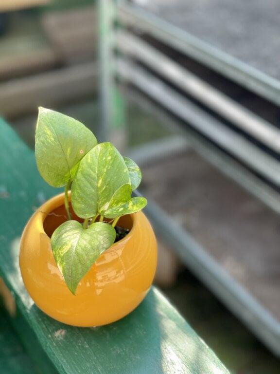 Zdjęcie rośliny Epipremnum Aureum (Epipremnum Złociste), ujęcie 1
