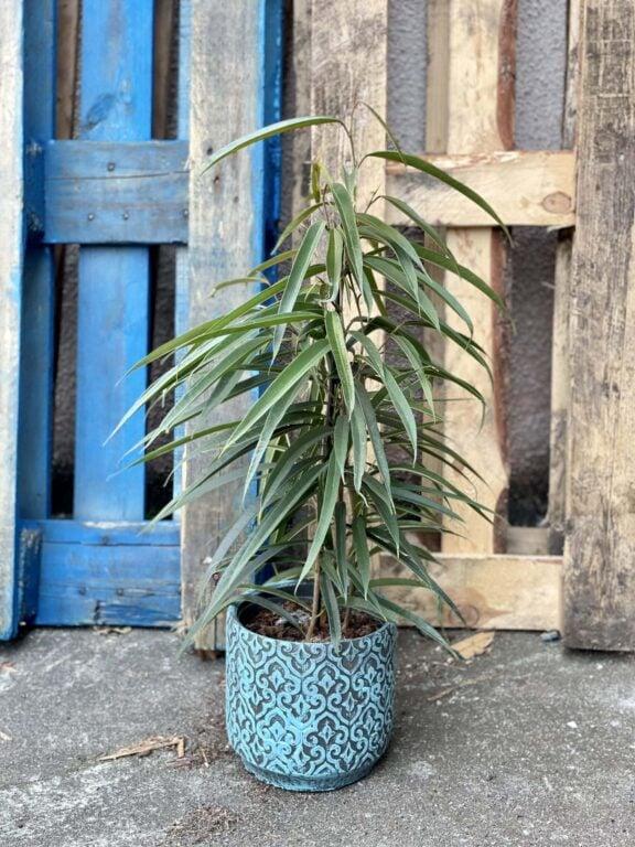 Zdjęcie rośliny Ficus binnendiijkii Alii (Figowiec wierzbolistny), ujęcie 1