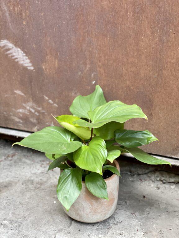 Zdjęcie rośliny Homalomena rubescens Maggy, ujęcie 1