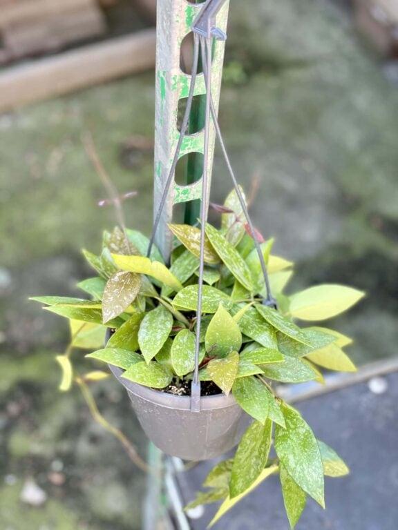 Zdjęcie rośliny Hoya Memoria Gracilis, ujęcie 1