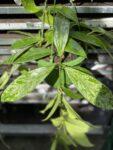 Zdjęcie rośliny Hoya Silver Spot, ujęcie 1