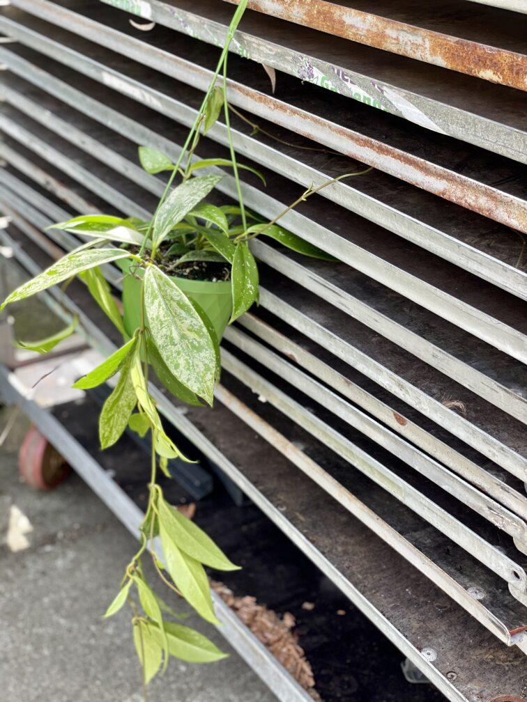 Zdjęcie rośliny Hoya Silver Spot, ujęcie 4
