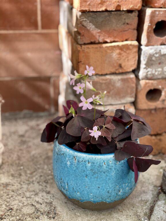 Zdjęcie rośliny Oxalis Triangularis (Szczawik trójlistny), ujęcie 1