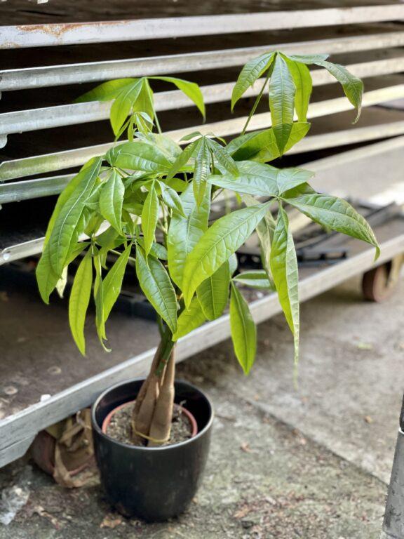 Zdjęcie rośliny Pachira Aquatica (Pachira Wodna), ujęcie 1