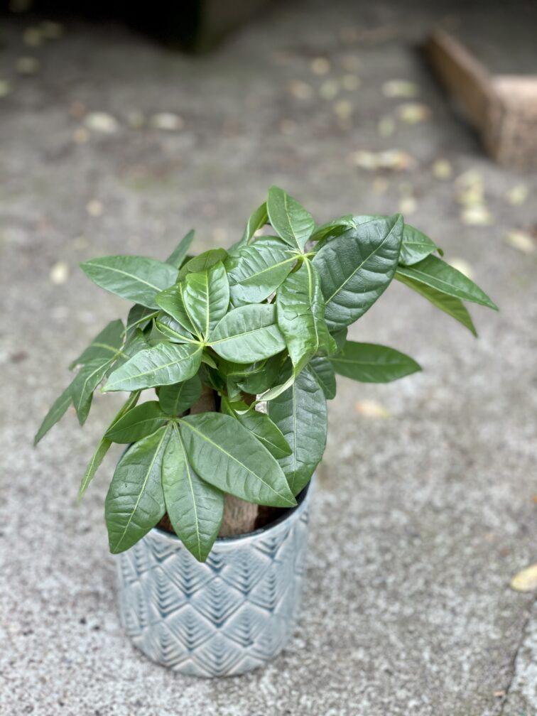 Zdjęcie rośliny Pachira Aquatica (Pachira Wodna), ujęcie 2