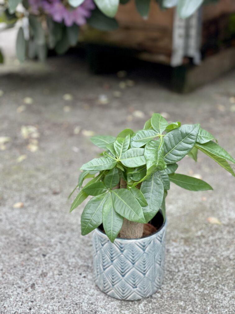Zdjęcie rośliny Pachira Aquatica (Pachira Wodna), ujęcie 3