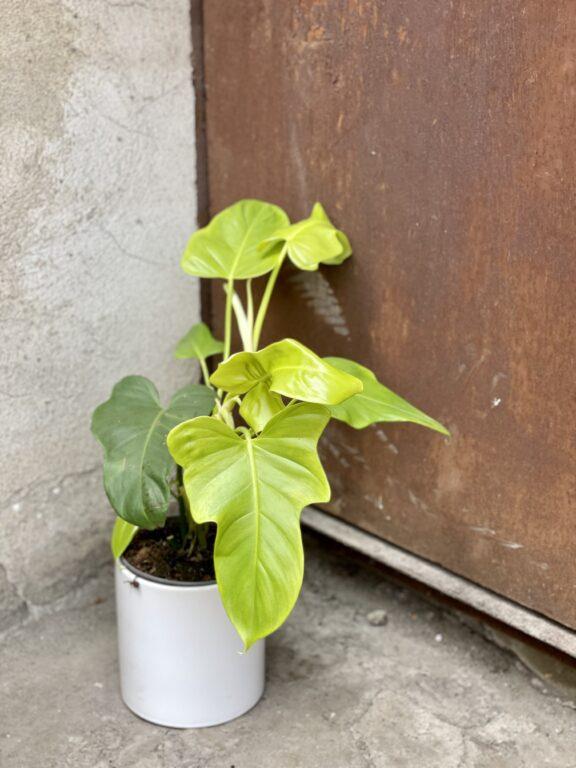 Zdjęcie rośliny Philodendron bipennifolium aurea Yellow Violin, ujęcie 1