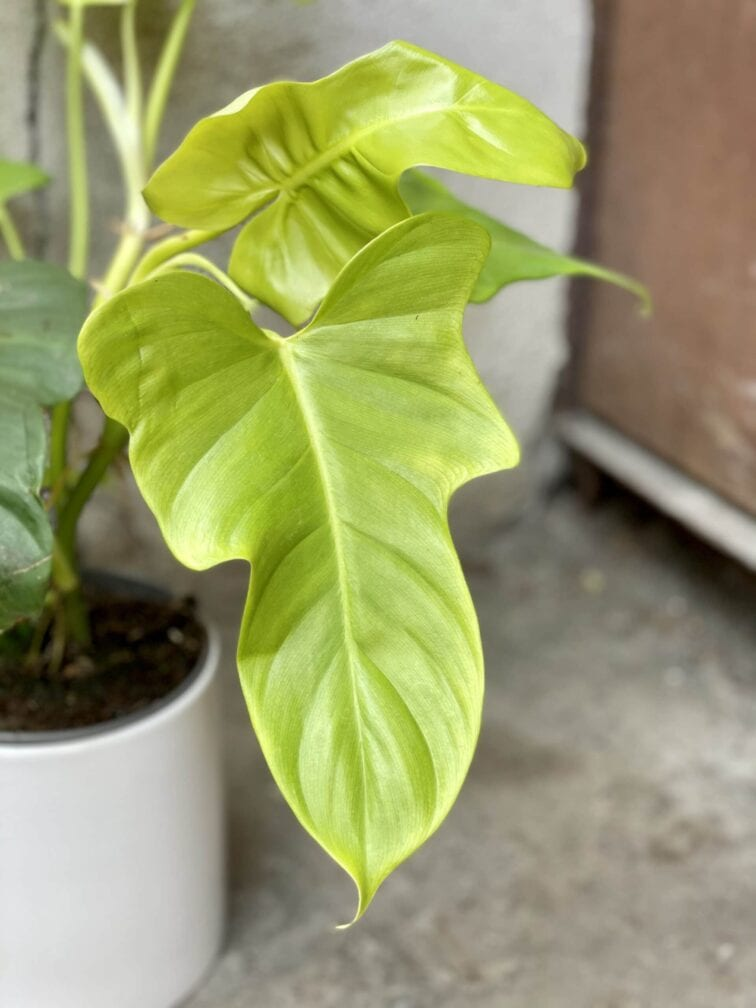 Zdjęcie rośliny Philodendron bipennifolium aurea Yellow Violin, ujęcie 2