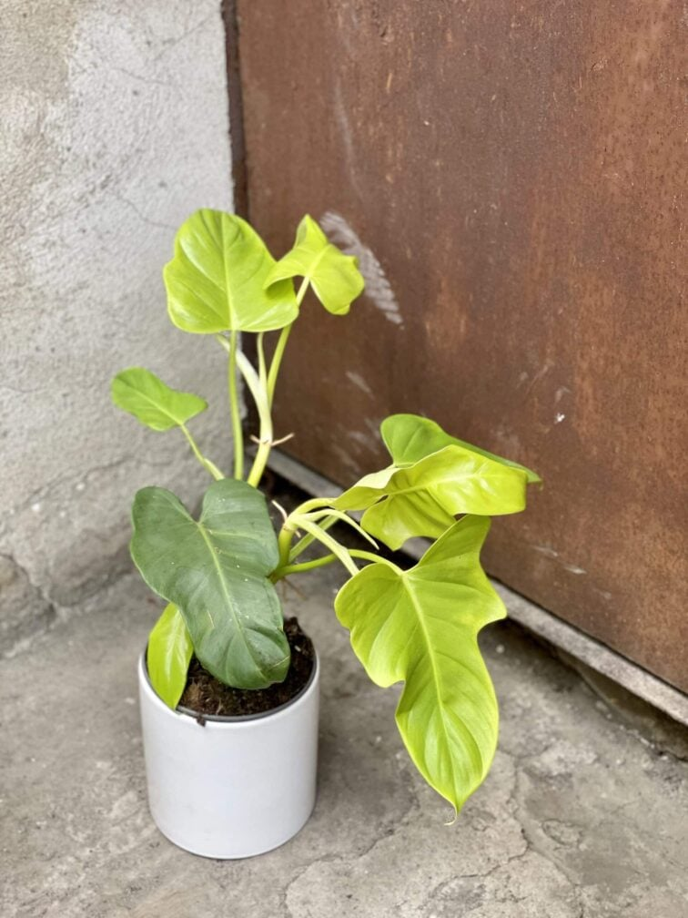 Zdjęcie rośliny Philodendron bipennifolium aurea Yellow Violin, ujęcie 3