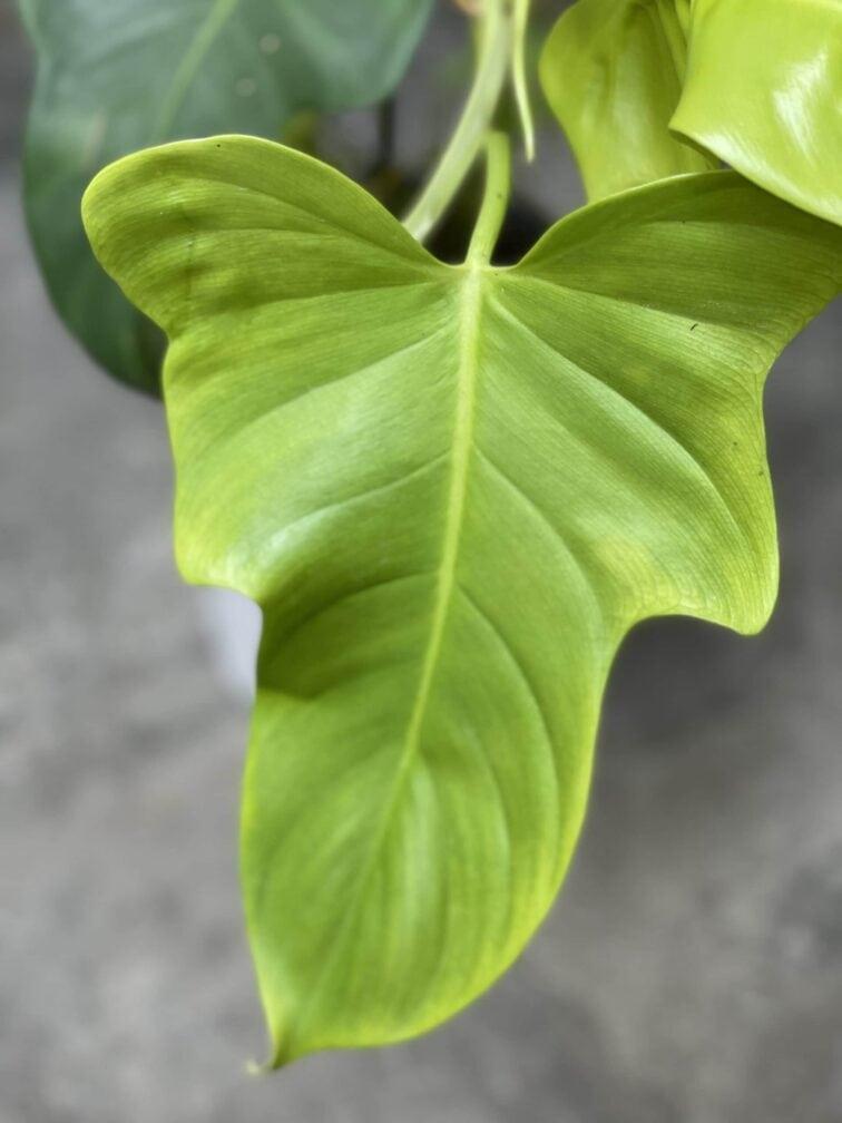 Zdjęcie rośliny Philodendron bipennifolium aurea Yellow Violin, ujęcie 4
