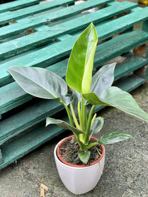 Zdjęcie rośliny Philodendron Millions, ujęcie 1