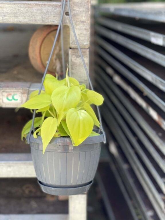 Zdjęcie rośliny Philodendron Scandens Lemon Lime, ujęcie 1