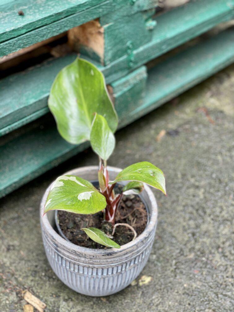 Zdjęcie rośliny Philodendron White Knight II, ujęcie 1