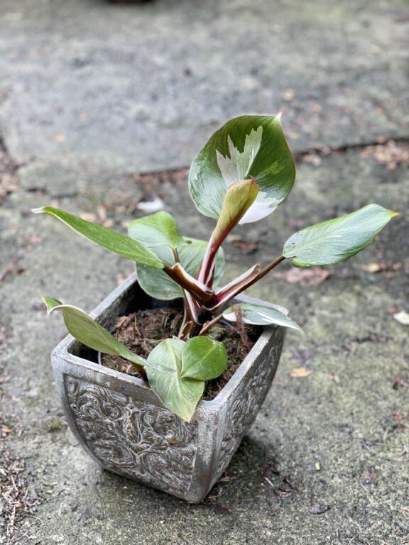 Zdjęcie rośliny Philodendron White Knight III, ujęcie 1