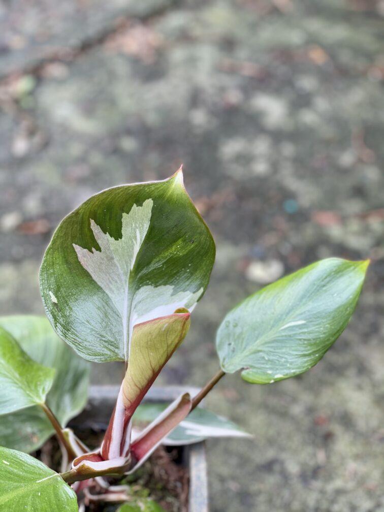 Zdjęcie rośliny Philodendron White Knight III, ujęcie 2