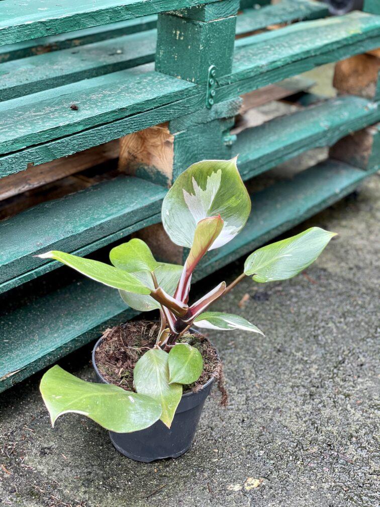 Zdjęcie rośliny Philodendron White Knight III, ujęcie 3