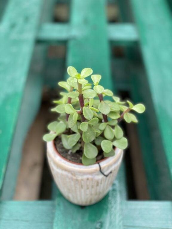 Zdjęcie rośliny Portulacaria afra, ujęcie 1