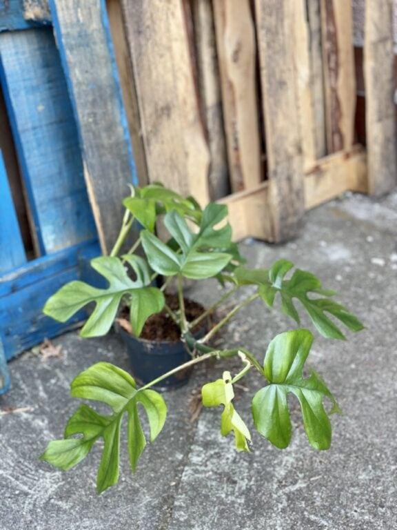 Zdjęcie rośliny Rhaphidophora Tetrasperma (Monstera Minima), ujęcie 1